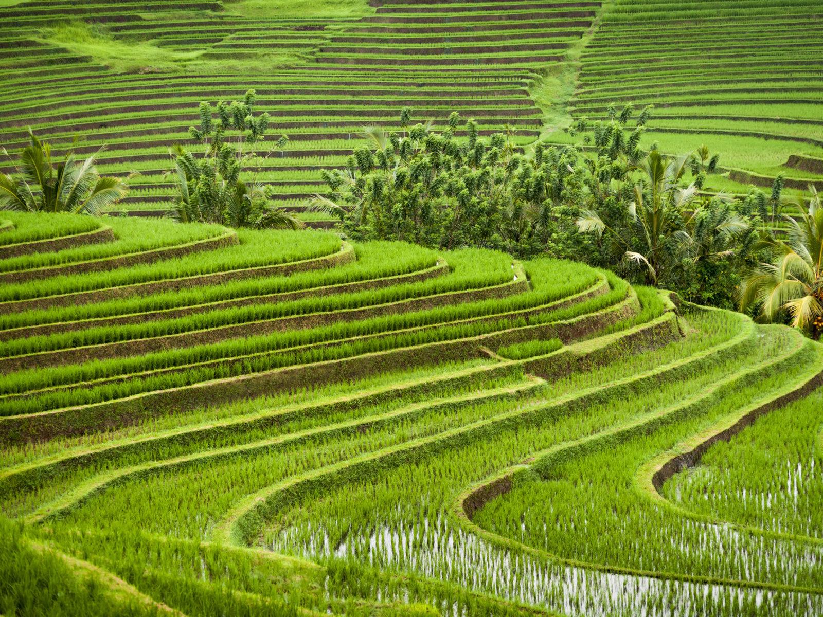 Reisterrassen in der Region Tabanan