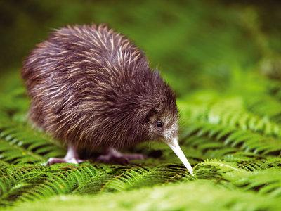 Kiwi ©Tourism New Zealand