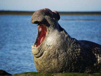 Seeelefant, Puerto Madryn