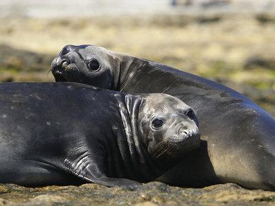 Seelöwen, Puerto Madryn