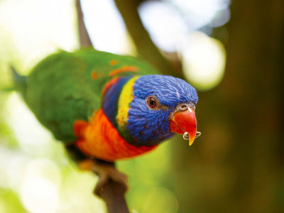 Rainbow Lorikeets, Kuranda © Tourism Australia