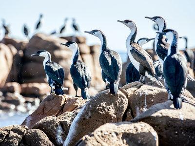 Kangaroo Isand, Kormorane ©Tourism Australia